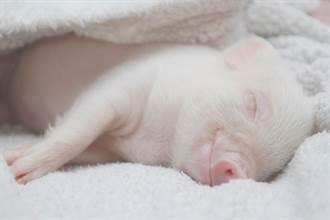 主人養寵物豬倒數100天宰來吃 慘變一盤肉百萬人看傻