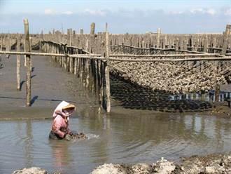 大陸3倍體牡蠣具優勢 雲林漁民籲漁政單位因應