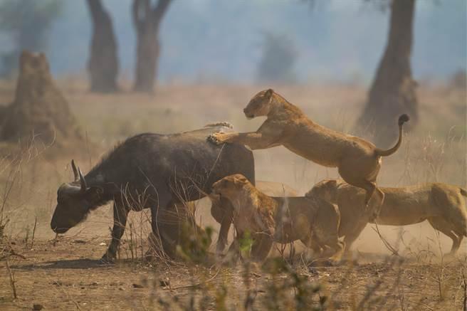 落單水牛被獅子包圍,無力抵抗的牠只能不斷哀號,牛群聽到後馬上跑過來救援。(示意圖/達志影像)