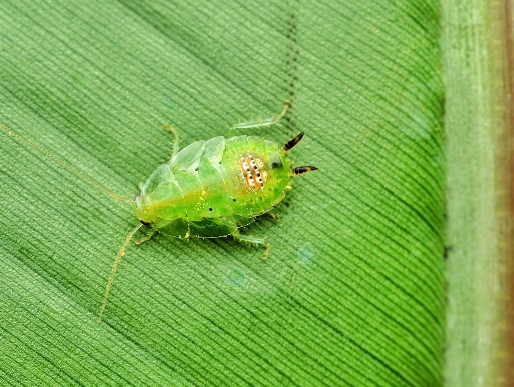 新加坡公園裡出現綠色蟑螂,由於外型相當特殊,與常見的蟑螂不一樣,因此引發熱議。(示意圖/達志影像)