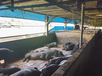 飼料餵養難負荷 豬農提前賣豬