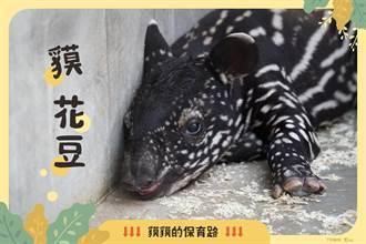馬來貘寶寶命名大戰 「貘花豆」14萬票取勝!