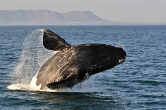 瀕危鯨魚水中陪游 陪遊客「多人運動」 百萬人見證奇景
