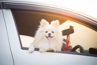 博美犬興奮搭車去兜風 一見目的地臉秒垮 絕望表情網笑翻