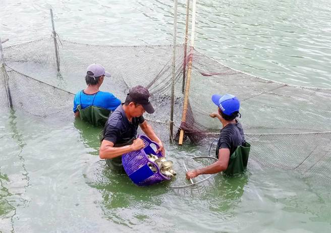 佳里區安西社區漁民養殖鯽魚。(讀者提供/張毓翎台南傳真)