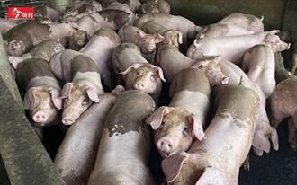 「非洲豬瘟殺到家門口!」 全台禁用廚餘養豬一個月 每天1263噸廚餘怎辦? 或許還有這第三條路