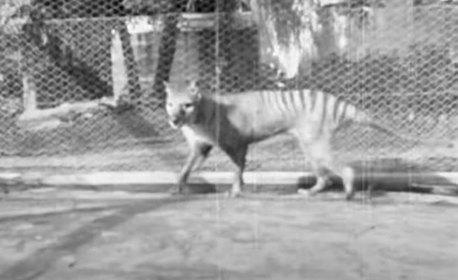 世界上最後一隻袋狼過世後,只留下黑白影像,近日澳洲國立影片與聲音檔案館曝光其彩色修復影片。(圖翻攝自YouTube/衛報)