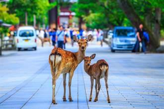 奈良最囂張「鹿」霸 占領停車場一鹿一格 19萬人笑翻