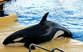 最孤獨虎鯨 被關水族箱40年見不到同伴 絕望舉動網心碎