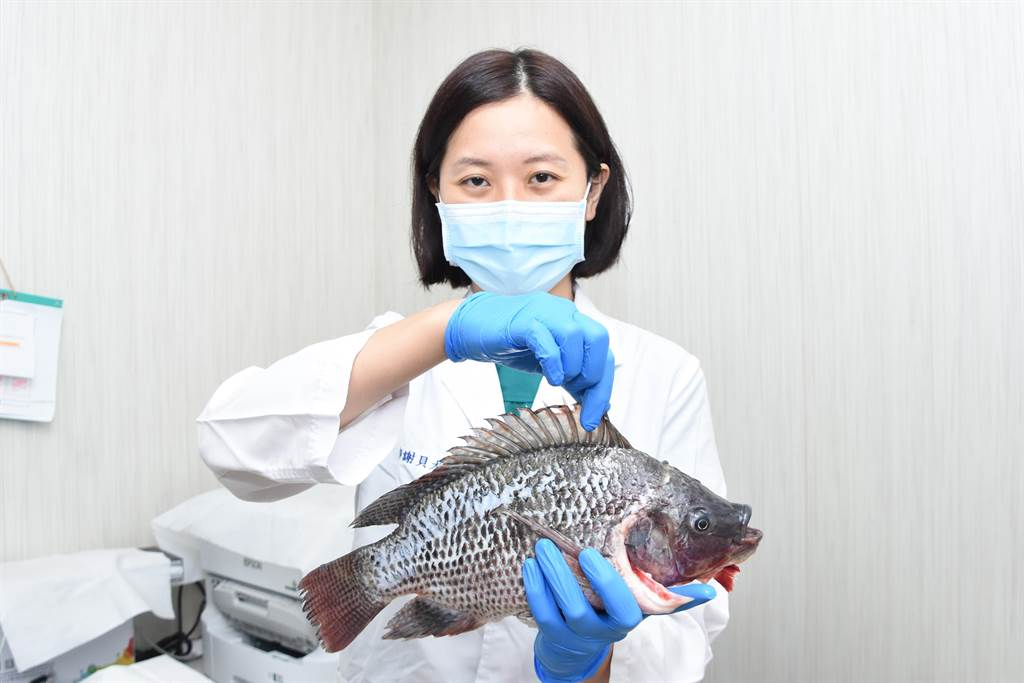 彰基醫師謝貝尤提醒民眾,處理海鮮時最好戴較厚的手套,被海鮮扎到手後果可能很嚴重。(吳敏菁攝)