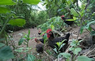 廚師到雞舍大總管 型農打造有靈魂的山野雞