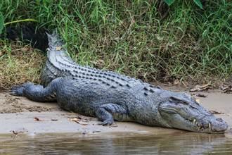 4公尺巨鱷慘遭男子捕殺 剖腹驚見史前原住民文物