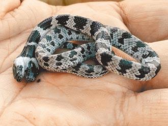 罕見雙頭蛇現校園 送嘉大研究