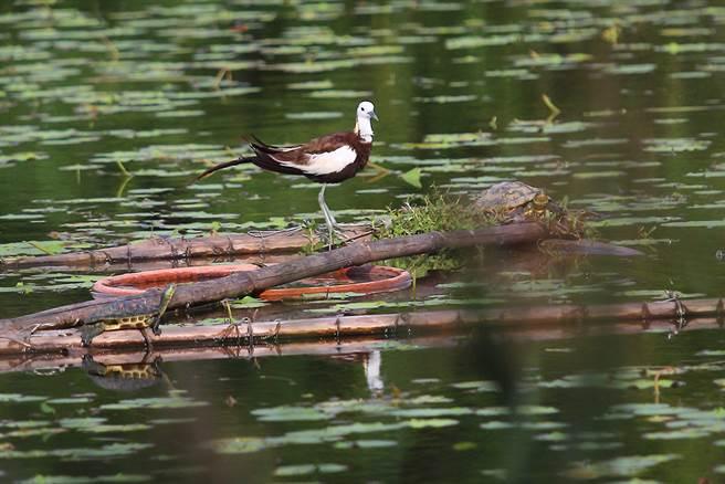 水雉現為洲仔濕地保護物種,在園區內觀察到的「雉尾水雉」,於每年春夏之際換羽,披上黑白相間的羽毛、金黃色的後頸及長長的尾羽,成為園內的亮眼風景。(攝影/Carter)