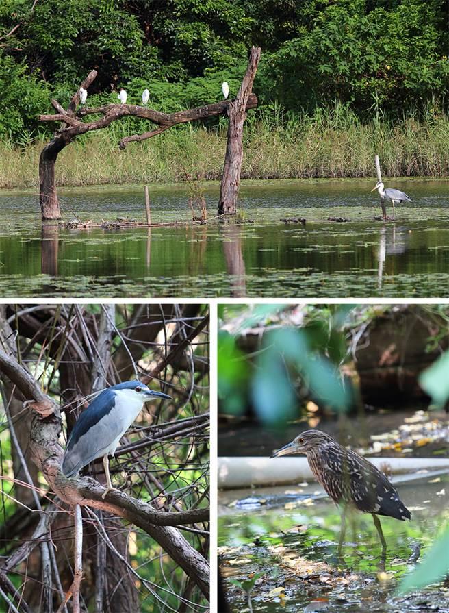 豐富的綠色植物包圍整片濕地,昆蟲與鳥類等物種齊聚,多樣化的棲地環境供各式生物自由地繁衍與棲息。(攝影/Carter)