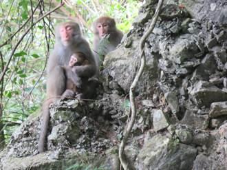 遊客餵食改變獼猴習性 太魯閣國家公園「人猴衝突」頻增