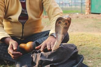 抓蛇20年誇口百毒不侵 男把眼鏡蛇掛脖子炫耀 下場悽慘