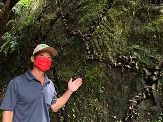 林下經濟種金線蓮 阿里山林業生產合作社摸索類野生新栽法