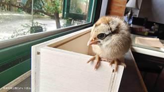 好心收留家門口的小雞 2個月後送養爆驚人身價