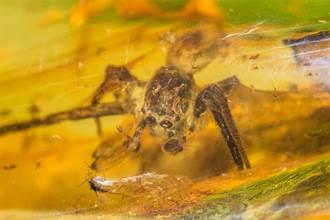 凍結9千萬年的母愛 史前蜘蛛遇災難 用身體護兒被定格