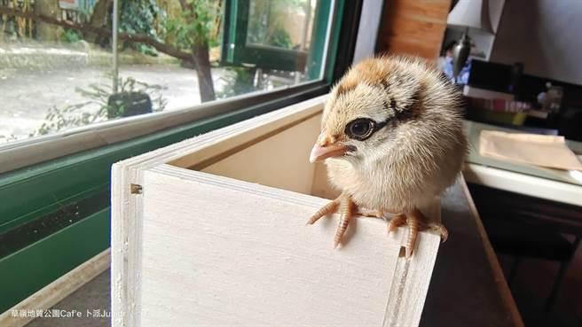 草嶺村蘇姓村民七月間拾獲1隻的小雞,其實是藍腹鷴。(蘇姓村民提供)