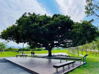 樹林沐心池百年榕樹命名結果出爐  「沐心榕」獲得最高票