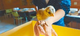 雲林路邊撿到小雞 疑似藍腹鷴