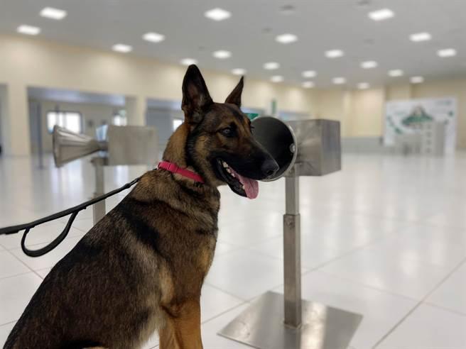 杜拜警方訓練出39隻嗅探犬,能以高達98.2%的成功率篩檢出新冠肺炎確診者。(圖/路透社)