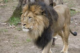美國再爆6隻獅子和3隻老虎染新冠肺炎 感染源不明