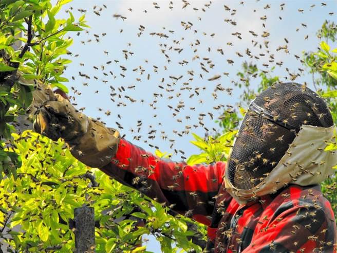 被蜂螫時快把蜂毒擠出來?專家疾呼:千萬不可。(示意圖/Shutterstock)