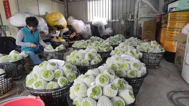 陸禁台灣釋迦和蓮霧,台東釋迦農民紛紛憂心不已。(本報資料照片)