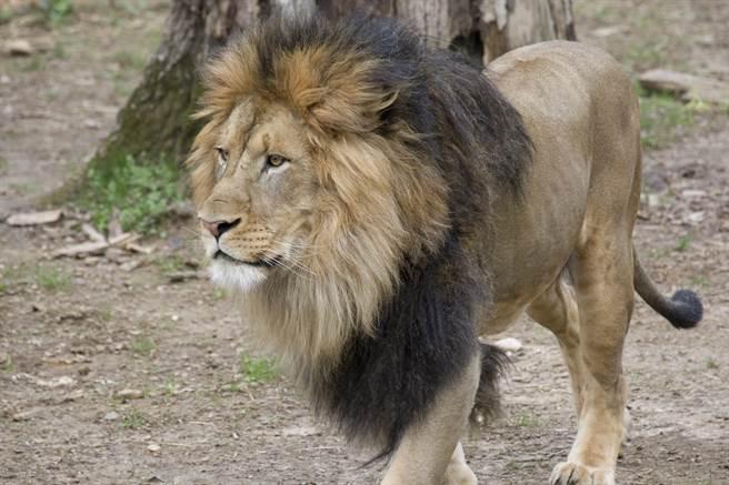 美國史密森尼國家動物園園內發現6頭獅子、3頭老虎在新冠肺炎檢測中呈陽性反應。(圖為成年非洲雄獅Luke)。(圖/取自史密森尼國家動物園官網)