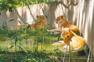 美國動物頻染新冠 貓狗老虎最多