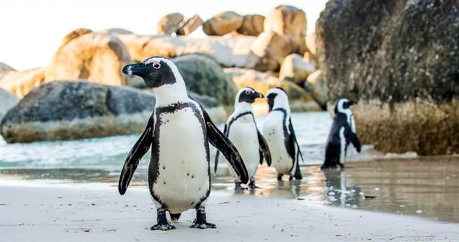 南非開普敦17日驚見63隻企鵝暴斃,這些企鵝的眼睛周圍有許多蜜蜂叮咬的痕跡,推測是被大群蜜蜂螫死。(資料照/shutterstcok)