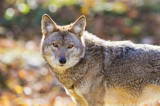 美國一隻小貓遇到郊狼不但不害怕,反而還勇敢地飛撲反攻,讓網友們十分驚嘆。(示意圖/達志影像)