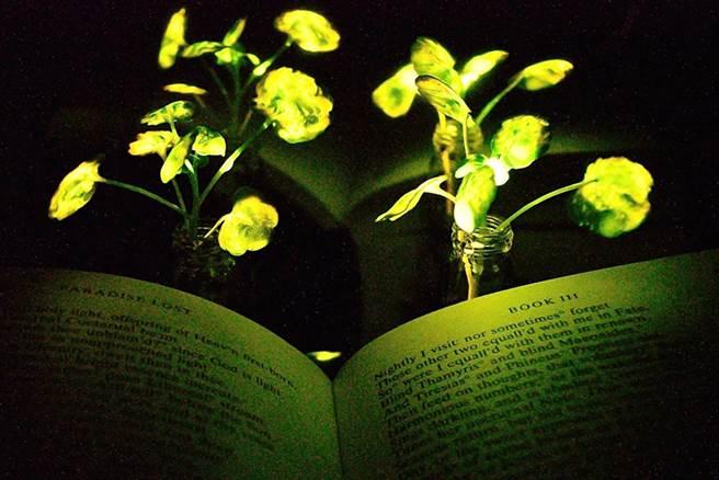 麻州理工學院發明的螢光植物,他們期望亮度可以成為照明。(圖/MIT)