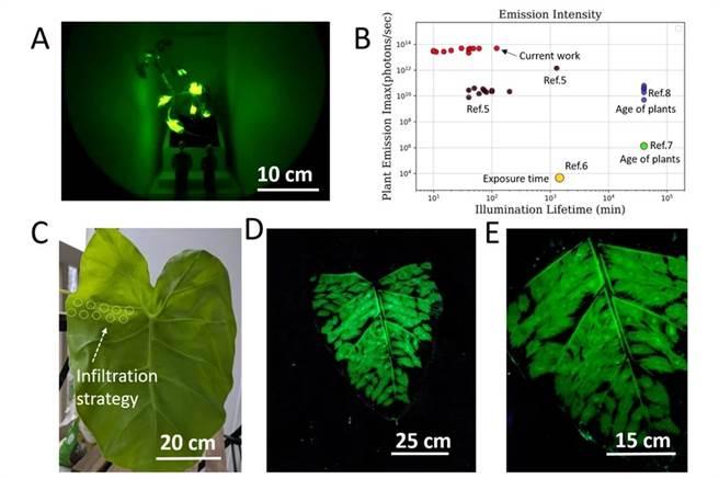 麻州理工學院以芋頭葉為實驗,測試螢光植物的亮度。(圖/MIT)