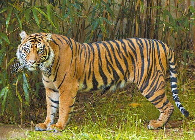 美國史密森學會國家動物園宣布,該園6隻獅子和3隻老虎的新冠病毒檢測結果為「推定陽性」。 (新華社)