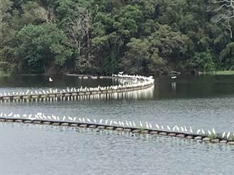遷徙秀讓人驚嘆!黃頭鷺成群南飛 場面浩大