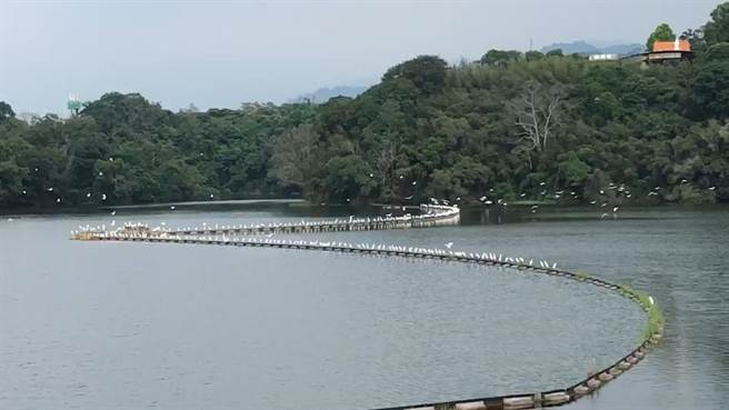 每天秋節前後是黃頭鷺南遷的最高峰期,大批黃頭鷺飛經苗栗縣明德水庫會暫停休息,場面相當壯觀。(讀者提供/謝明俊苗栗傳真)
