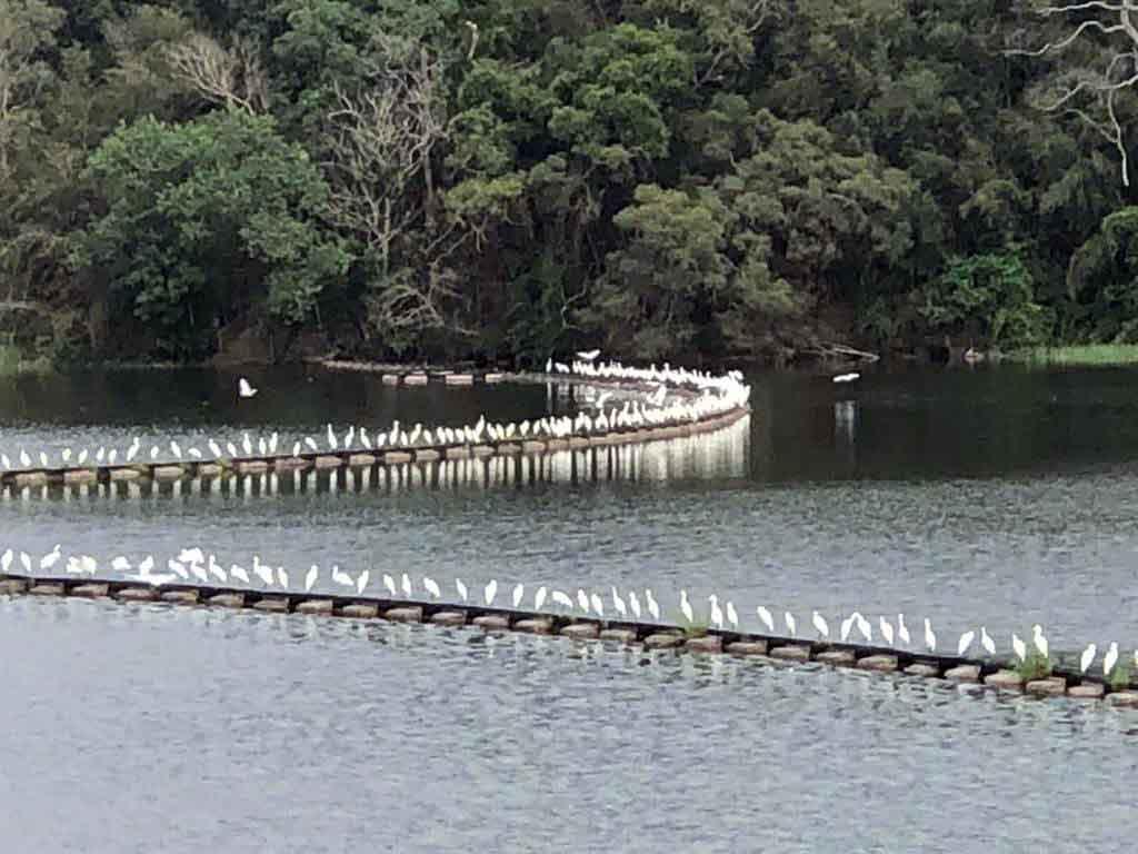 秋節遷徙秀讓人驚嘆! 黃頭鷺成群南飛場面壯觀