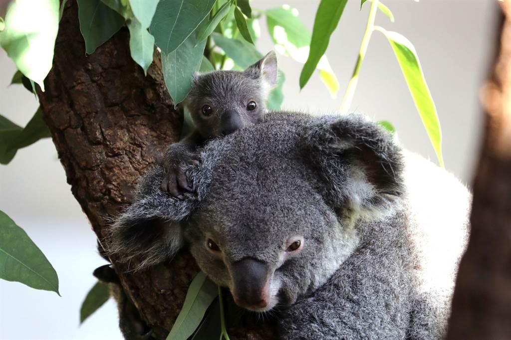 在苏黎世动物园里所摄,仅有几个月大的无尾熊宝宝跟着妈妈Pippa。(图/美联社路透)(photo:ChinaTimes)