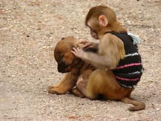誤把幼犬當寶寶 猴子綁架小狗3天 親密舉動眾人驚呼