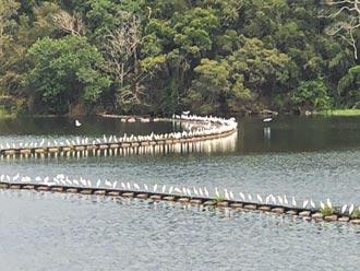 上萬黃頭鷺成群南飛 場面壯觀