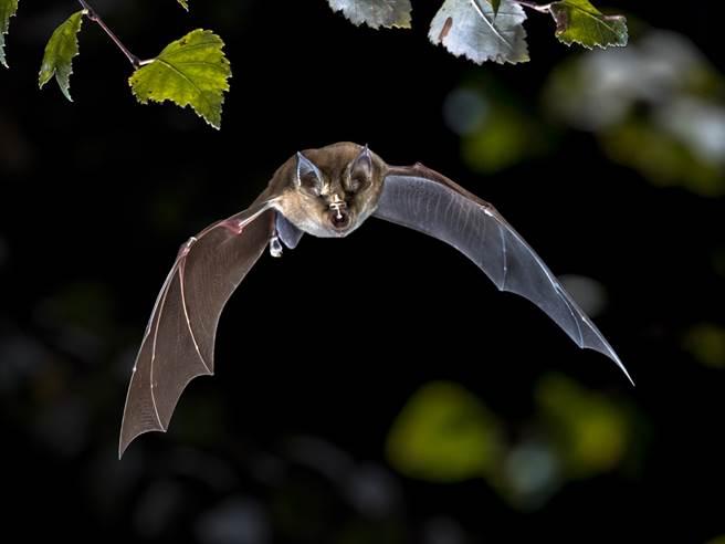 美國一名人妻近日發現一隻蝙蝠竟藏在她的雙腿之間,讓她嚇得急忙打電話給老公求助。(示意圖/達志影像)
