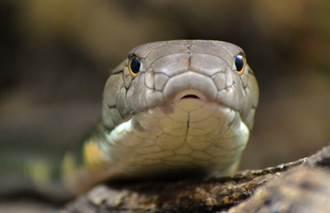 眼鏡王蛇躲進酒甕裡被拉出 超巨體型眾人嚇傻