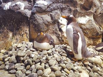 企鵝繁殖季 屏東海生館粉紅泡泡多