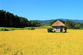 岩手絕景!被黃金稻浪包圍的孤單小神社