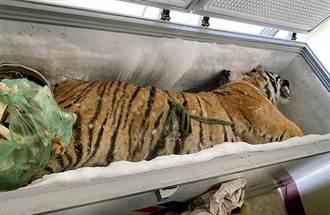 冷凍櫃藏160公斤大老虎「入藥用」 屋主急了:朋友寄放