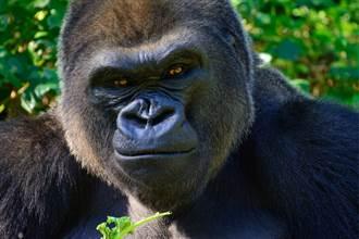 1歲女娃認猩猩是媽媽 童言背後藏玄機 網:靈童轉世